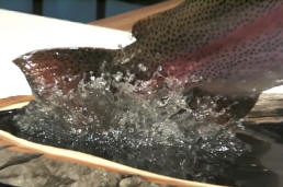 trout splashing close-up